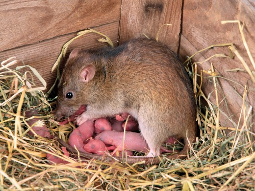 Mother rat nursing babies.